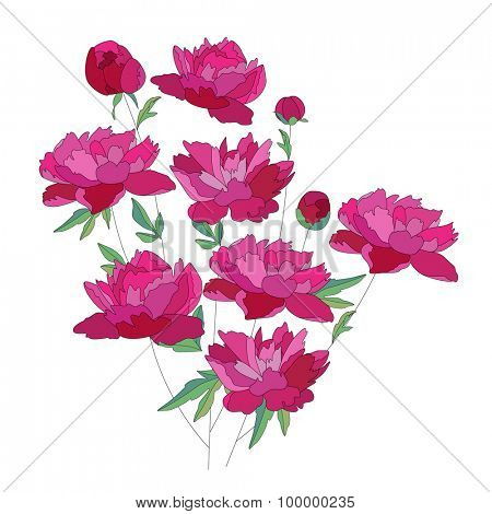 Peony red flower. Bunch isolated on white background. With contour.