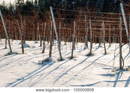 Vineyard In Winter Covered With Snow