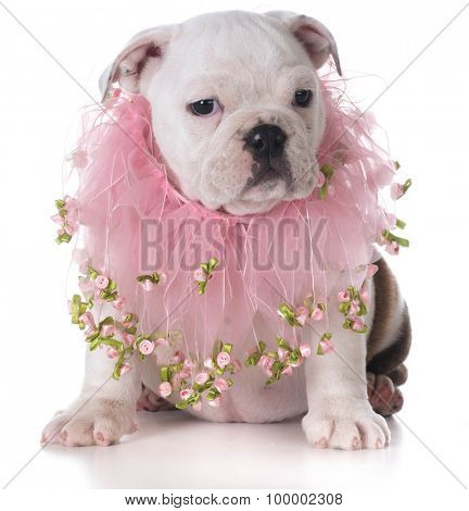 female bulldog puppy sitting on white background
