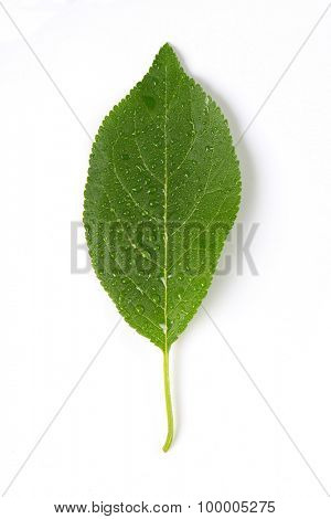 single washed plum leaf on white background
