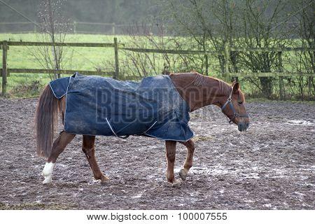 Horse with rain blanket