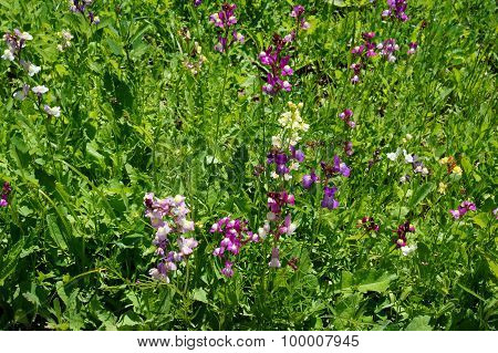 Moroccan Toadflax