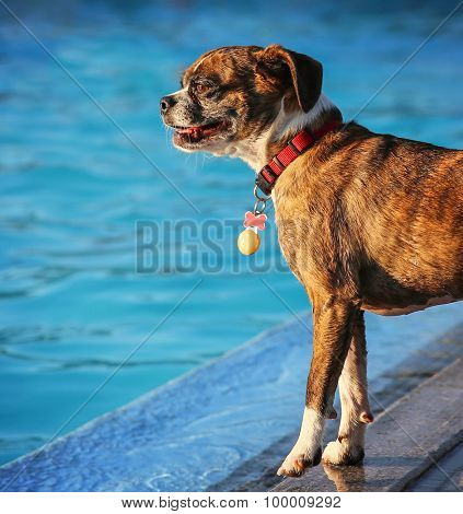 a dog playing at a local public pool
