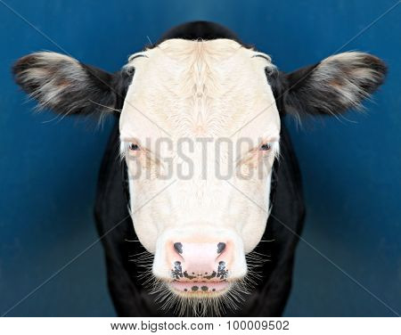 Cow Staring At The Camera.