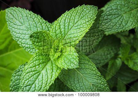 Mint plant growing in home garden