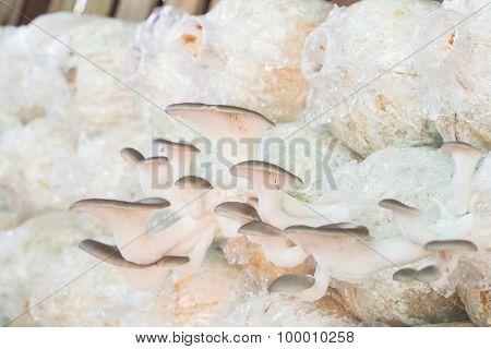 Healthy Organic Oyster Mushroom
