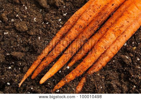 Carrots harvested from home garden