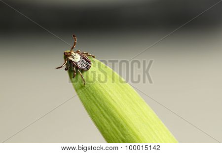 Dog Tick On Leaf