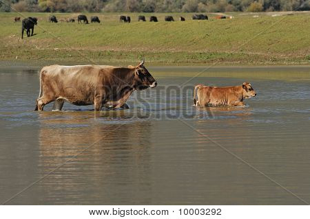 cow and calf in water