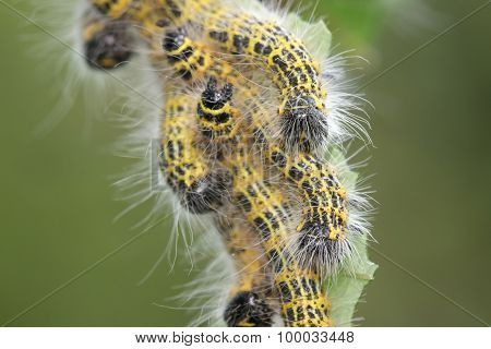 Buff-tip Moth caterpillars. They have finally stopped eating so I guess they are all grown up and ready to drop. poster