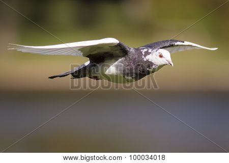 A Feral Pigeon flying across a lake in the sunshine. poster