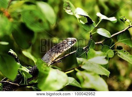 Snake in ambush
