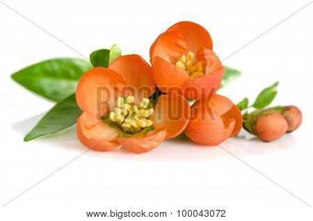 Beautiful Orange Flowers With Buds On White Background