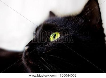 Close Up Portrait Of Black Cat
