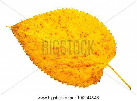 Colorful autumn leaf isolated on white