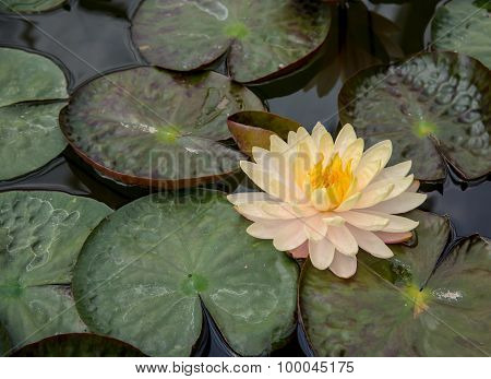 Beautiful Lotus Flower And  Leaf In The Pond ,top View Shooting