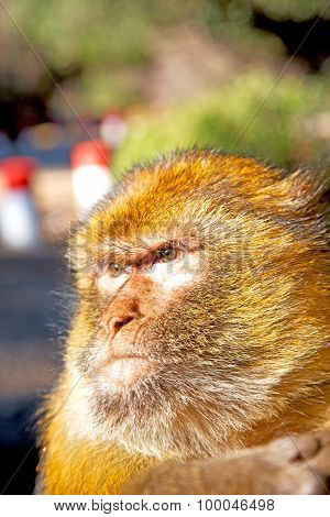 Old Monkey In Africa Morocco   Fauna Close