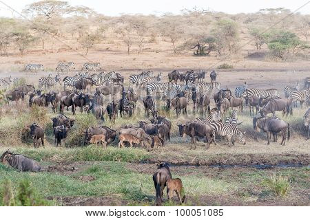 Zebras And Wildbeests In Serengeti In Tanzania