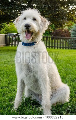 Obedience White Labradoodle