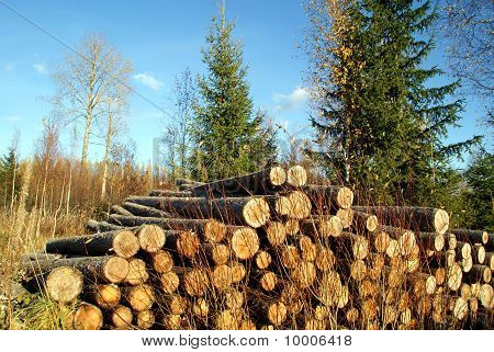 Pile Of Spruce Logs and Spruce Trees