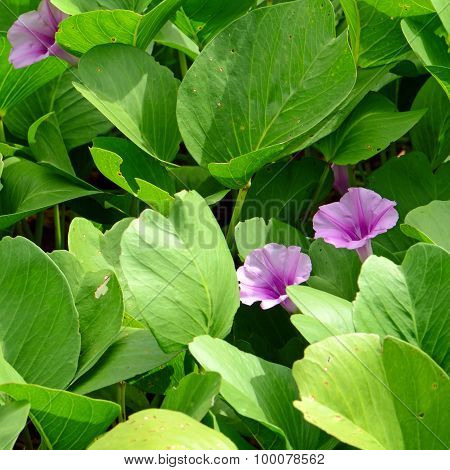 Beach Morning Glory or Goat's Foot Creeper ( Ipomoea pes-caprae ( L.) R.br.) Thai traditional herbal medicine. poster
