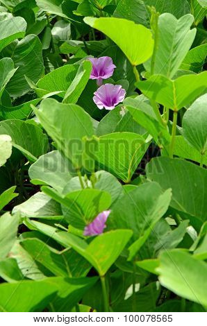 Beach Morning Glory Or Goat's Foot Creeper ( Ipomoea Pes-caprae ( L.) R.br.).