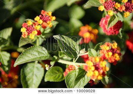 damselfly on Verbenaceae leaf