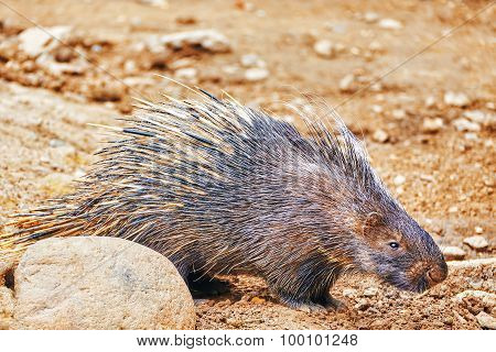 Animal Porcupines in their natural habitat wild. poster
