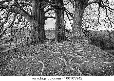 Tolkien's Trees At Avebury, England