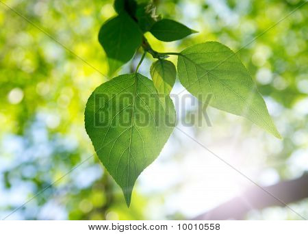 Two Green Leafes In Sunny Day