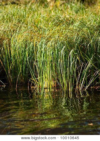 Green Grass In Tranquil Water