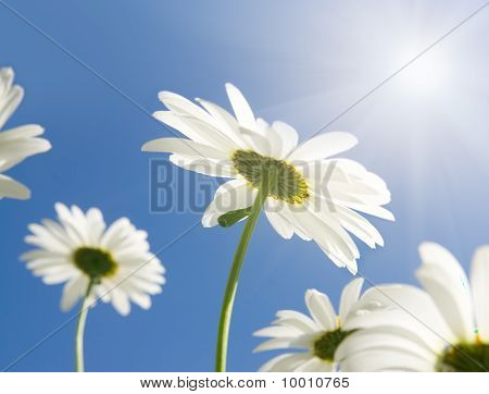 Camomile Flowers In Sun Rays