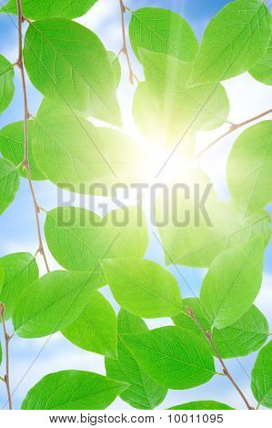 Green Leafe  In Sunny Day.