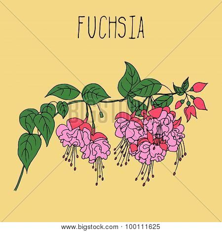 Hand drawing illustration of fuchsia.