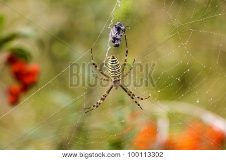 Spider With Prey