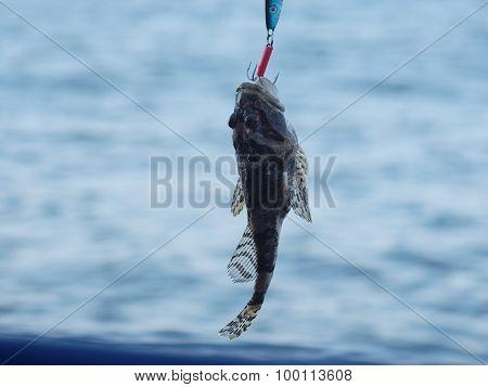 Sea Fish Lophius Piscatorius