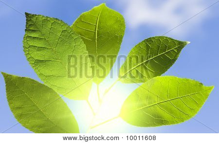 Green Leaf In A Sunny Day