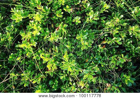 Green Lingonberry Leaves. The View From Above.