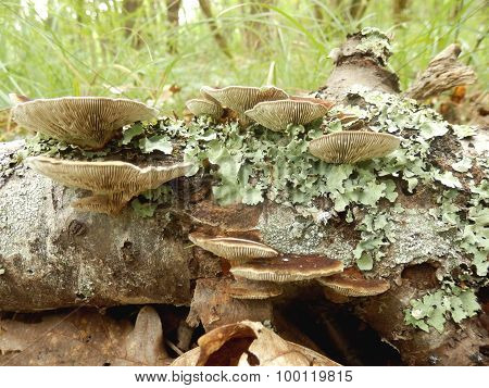 Birch Mazegill Fungus aka Lenzites betulinus, showing the intricate maze like gill formation poster