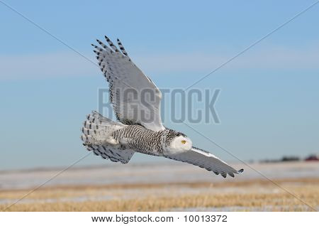 Winter White Snowy Owl In Flight