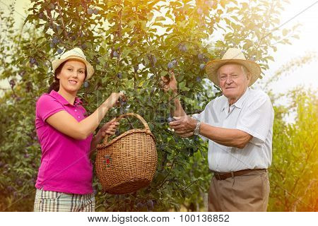 The younger woman helping an older man in the orchard, to pick plums