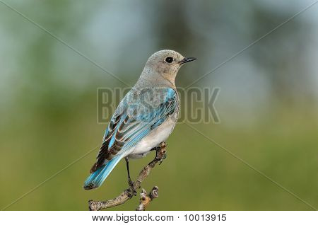 Solitary Femaile Mountain Bluebird Perched On Branch