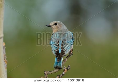 Solitary Female Mountain Bluebird Perched On Branch