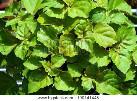 Looking Down On Patchouli Plant Leaves