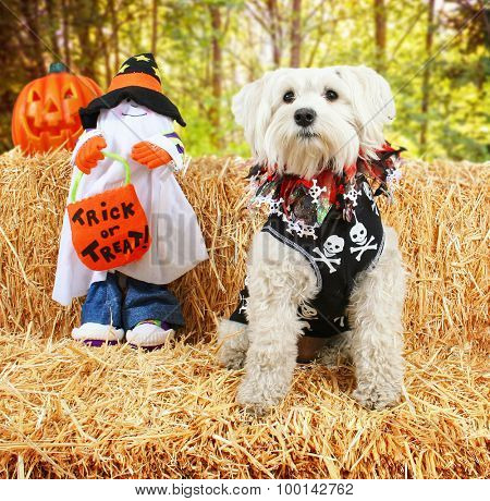 a cute white terrier mix sitting on a bale of hay or straw for autumn or halloween theme designs