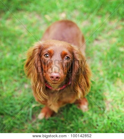 a miniature long haired dachshund with red coloring sitting in the grass in a local park