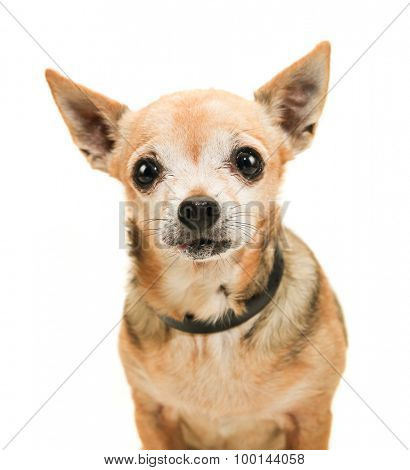 a goofy chihuahua with bubbles on his mouth isolated on a white background
