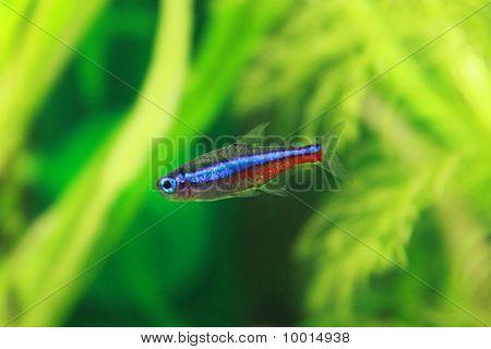 Blue Neon Freshwater Fish