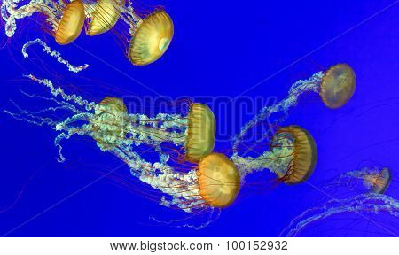 Orange nettle jellyfish