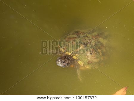 European pond turtle, Emys orbicularis, swimming in a pond